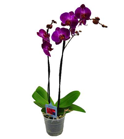 Орхидея.  Рост растения/ диаметр горшка: 50см/14см.  Цветы дома.  Здоровье.  Растения. обратная связь.