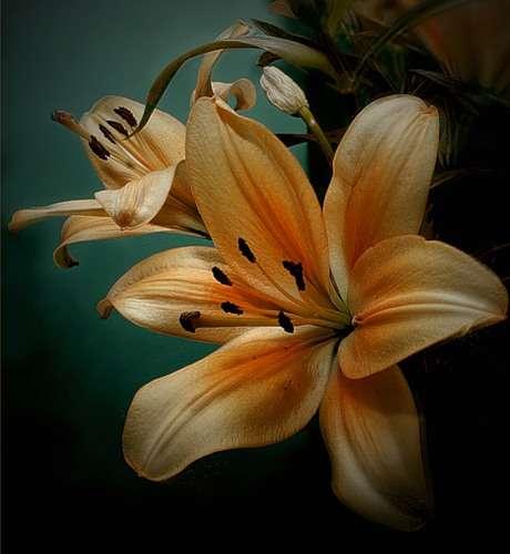 Луковичные клубневые и корневищные цветы и растения - фото