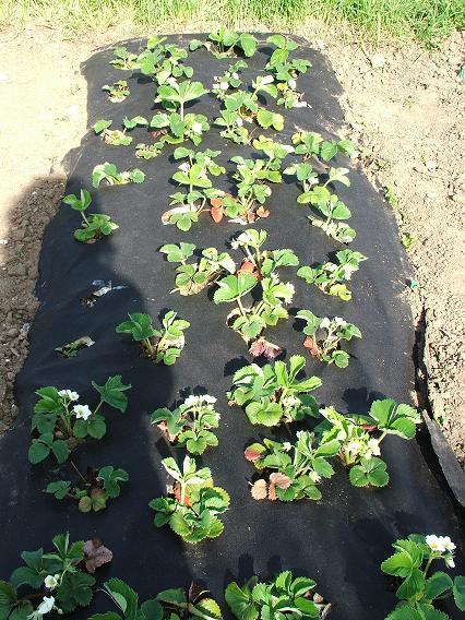 Как сажать садовую клубнику осенью